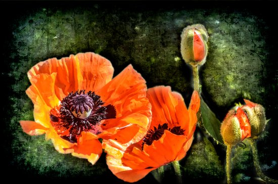Oriental Poppies family Art Print
