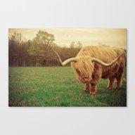 Scottish Highland Steer … Canvas Print