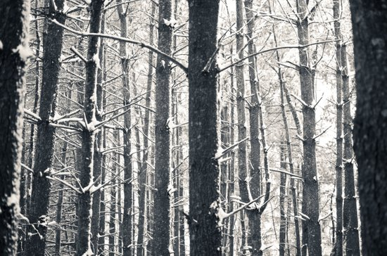 Snowy Pine Grove Art Print