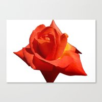 Beautiful Red Rose Isola… Canvas Print