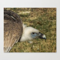 Griffon Vulture Canvas Print