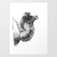 Bactrian Camel G079 Art Print