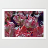 Candy Parrot Tulips Art Print