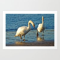 Swans On Walkabouts  Art Print