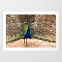 Indian Blue Peafowl Art Print