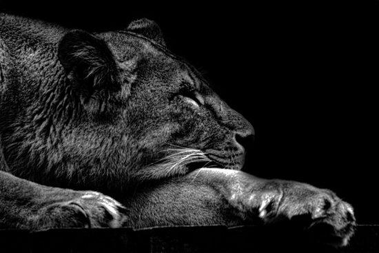 The Sleeping Lion  Art Print