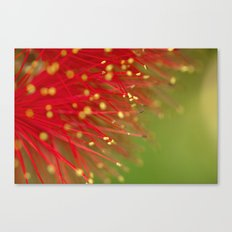 Fireworks of the Callistemon 30-13 Canvas Print