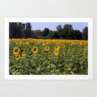 Field Of Sunflowers Colo… Art Print