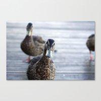 Curious duck Canvas Print
