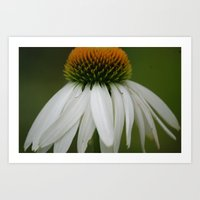 White Cone Flower Art Print