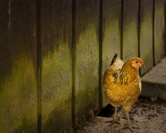 Orange chicken Art Print