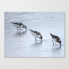 Three Sandpipers Canvas Print