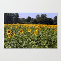 Field Of Sunflowers Colo… Canvas Print