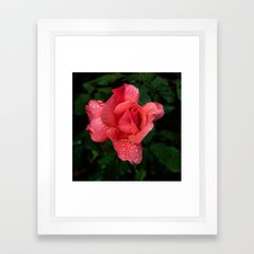 A rose after the rain Framed Art Print