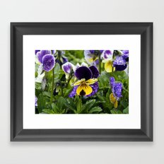 Violets on a rainy morning Framed Art Print