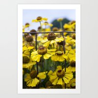 Fenced Daisies Art Print