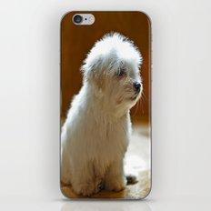 Coton de Tulear Puppy iPhone & iPod Skin
