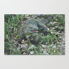 Cayman Iguana Canvas Print