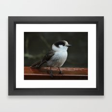 Gray Jay Framed Art Print