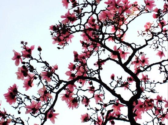 magnolia silhouette Art Print