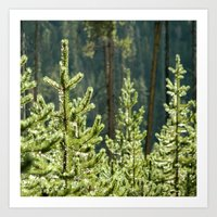 Young Lodgepole Pines after a rain Art Print