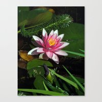 Little Water Lily  Canvas Print