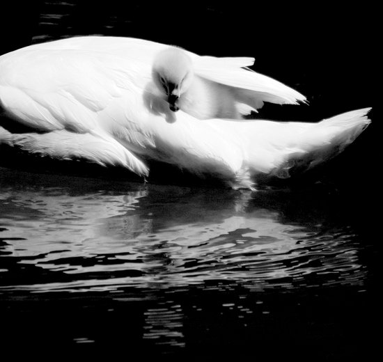 baby swan Art Print