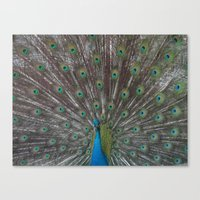 Peacock. Canvas Print