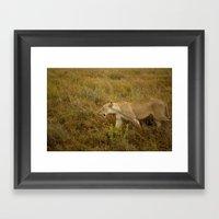 Lion in the wild. Framed Art Print