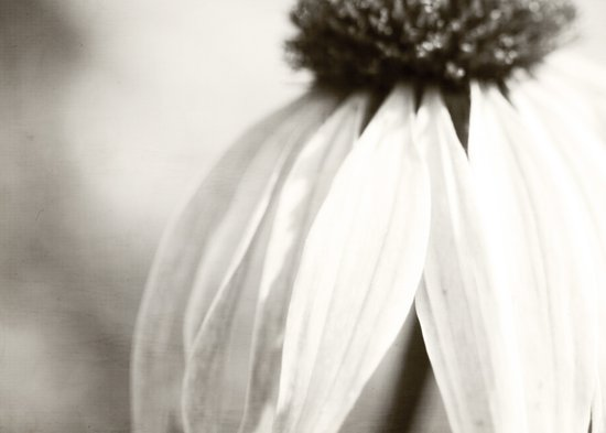 coneflower Art Print