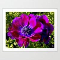 Burgundy Poppy Anemone I Art Print