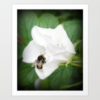 Hedge Rose With Busy Bee Art Print