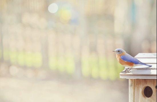 Bluebird Morning Art Print