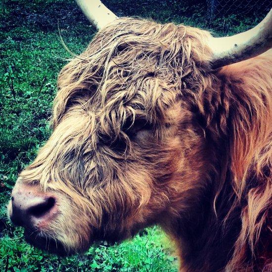 West Highland Cattle, High Park Zoo Art Print