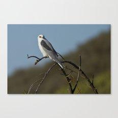 White-tailed Kite Canvas Print