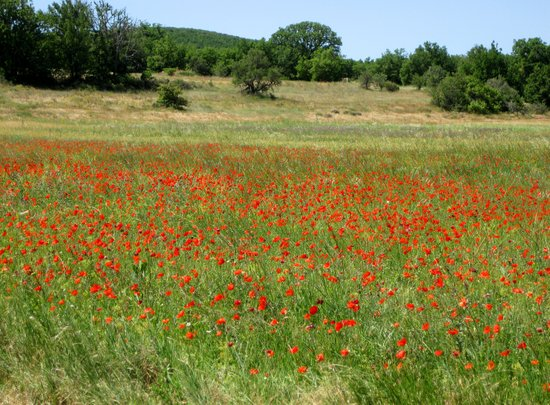 Poppies in Provence, France Art Print