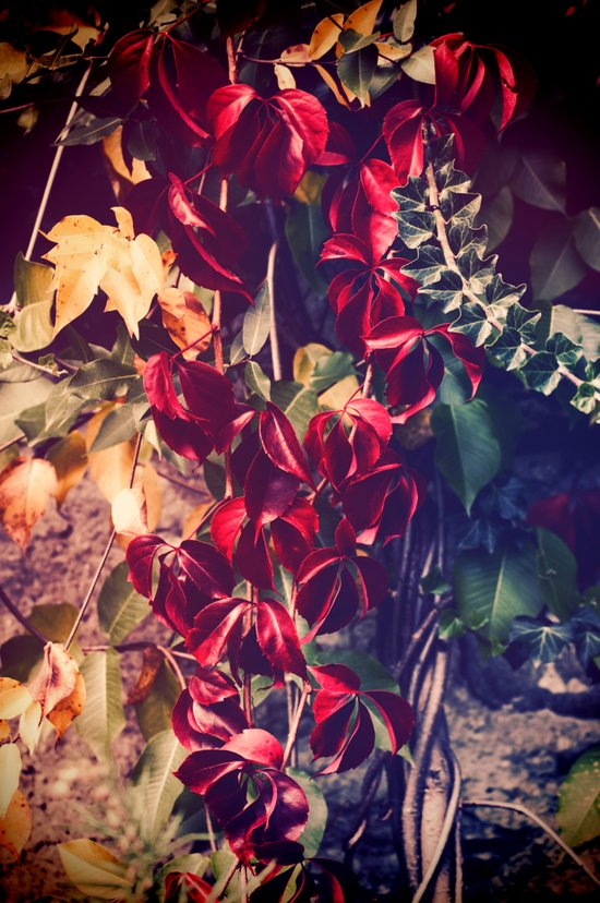 Red vine Art Print