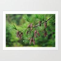 Pine cones Art Print