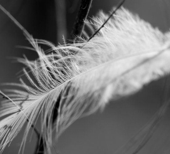 Lost Feather (Monochrome) Canvas Print