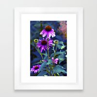 Purple Coneflowers  Framed Art Print