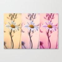 Trio Daisies Canvas Print