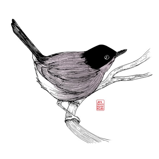 Blackcap Bird Art Print