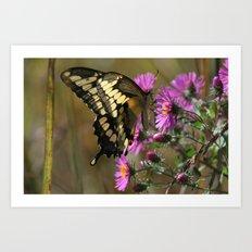 Giant Swallowtail (Papilio cresphontes) Art Print
