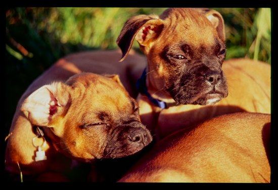 Weary Pups In The Evening Sun Art Print
