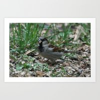 House Sparrow Art Print