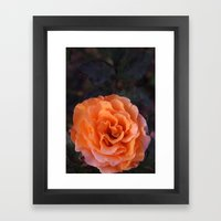 Holland Park Rose Framed Art Print
