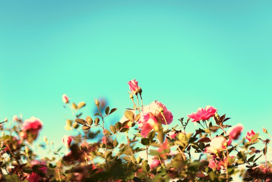 Pink Rose in a Blue Sky ( Colourful and retro nature nature) Art Print