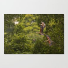 Flight of the lesser-whistling ducks Canvas Print