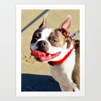 Portrait of a Boston Terrier Art Print