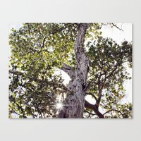 Sun through Hawaii Tree Canvas Print